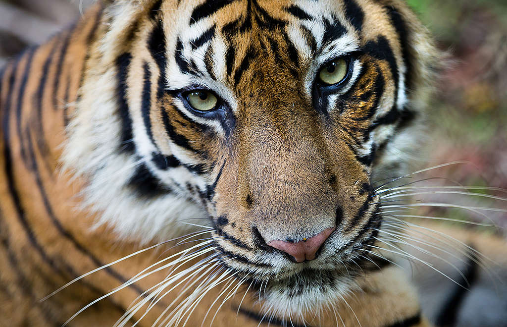 Tigre de Sumatra en peligro de extinción por la deforestación de su hogar