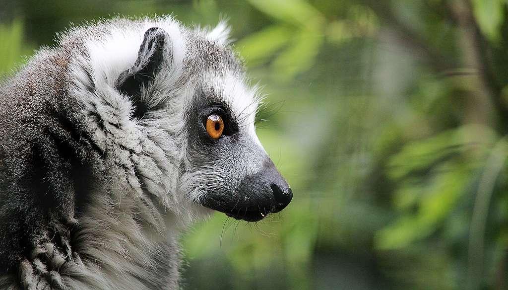 Lemur en peligro de extinción