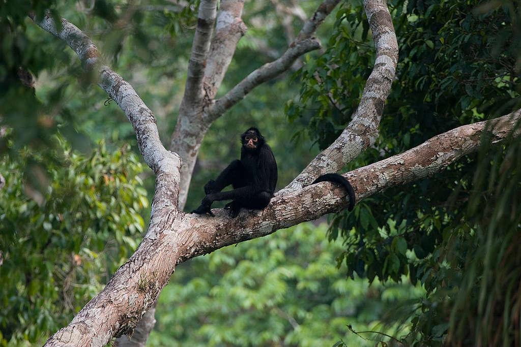 Mono araña en peligro de extinción por la deforestación de su hogar