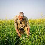 Wheat Farmer in Bihar. © Karan Vaid / Greenpeace