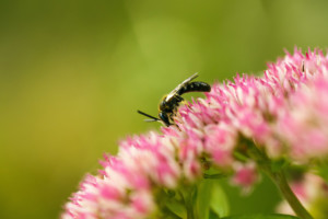 bijen, milieukeur