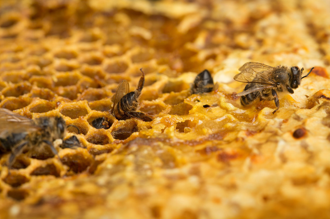 Honeybees Mortality in the Netherlands