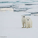 A polar bear and her cub. Greenpeace is in the Arctic to document the lowest sea ice level on record.