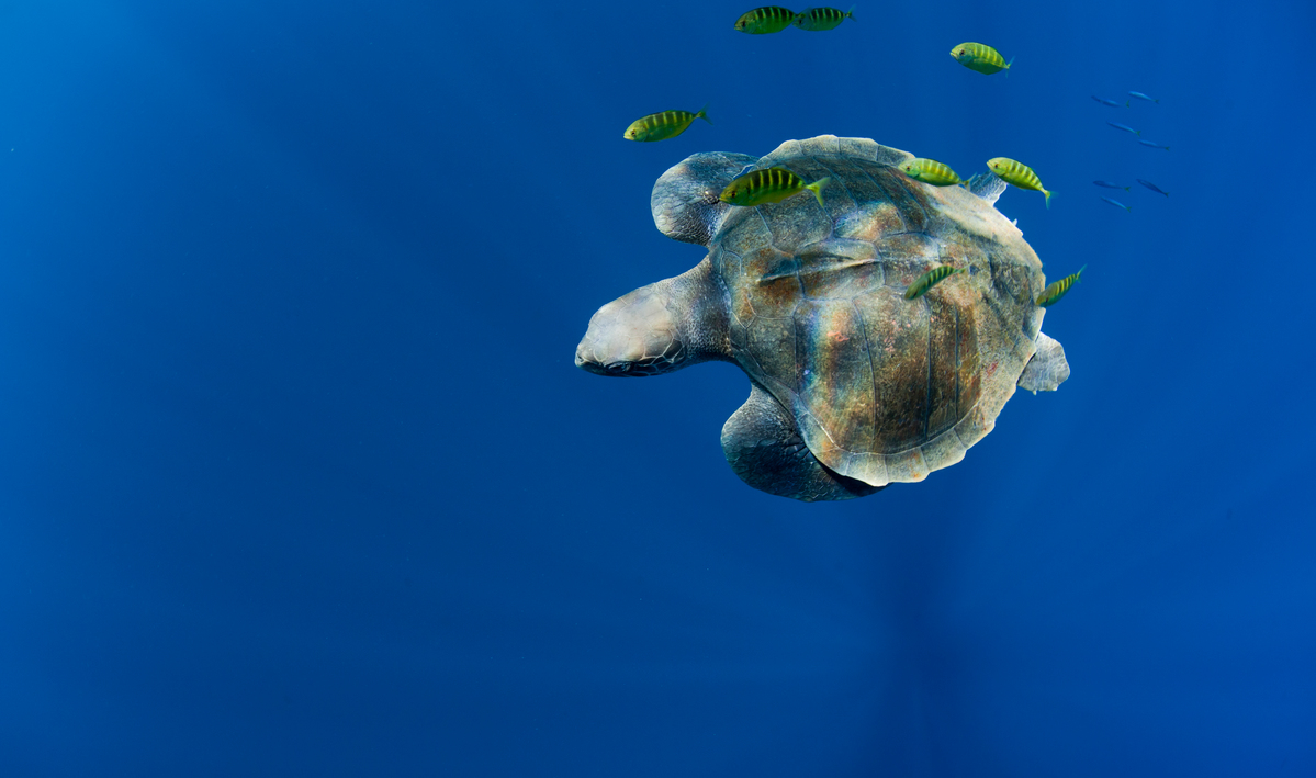 Turtle in the Pacific Ocean. © Paul Hilton