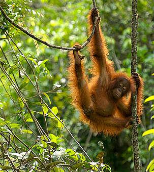 Orang-oetans en palmolie (10-14 jr)
