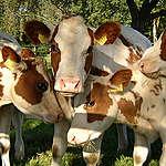 Zijn invloed aanwendt voor een soepele transitie van de huidige vee-industrie naar ecologische dierhouderij.