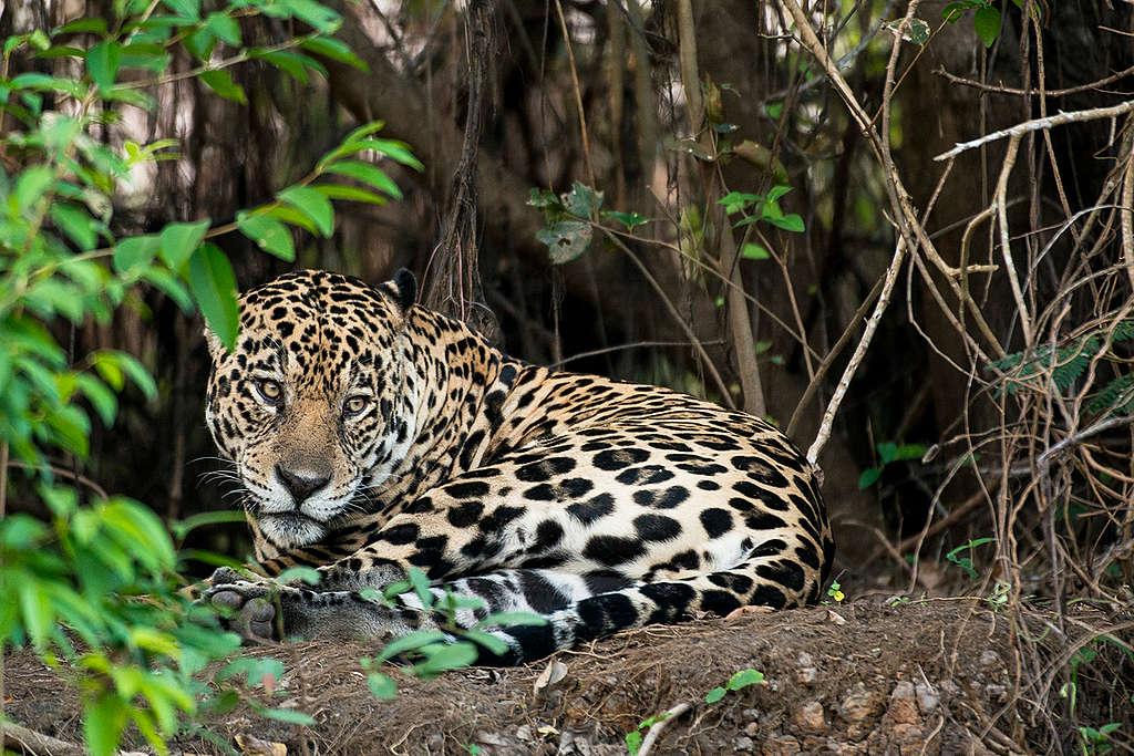 Jaguar (Panthera onca) in the Amazon. © Valdemir Cunha