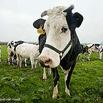 """Cows from ecological farmhouse """"de Groene Geer"""" near Leerdam Koeien van ecologische boerderij de Groene Geer bij Leerdam."""