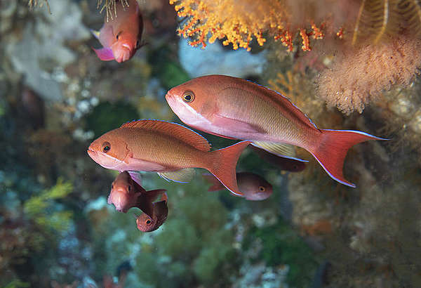Flora and fauna at Mount Vema seamount