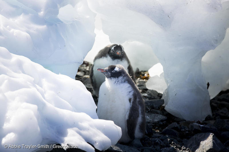 Gentoo penguins, penguins Antarctic, Antarctica, Esperanza base, hottest temperature on record, 18.3C