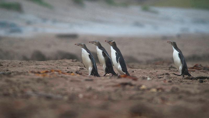 Hoiho, yellow-eyed penguins of New Zealand, penguin bycatch, New Zealand fishing industry