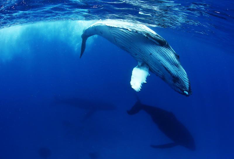 Humpback whales pacific, global ocean treaty, ocean protection, 30 x 30, UN ocean treaty