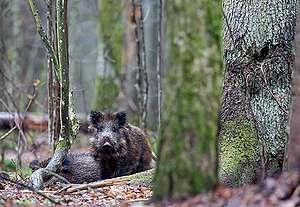 Dziki w Puszczy Białowieskiej