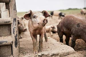 Ekologiczna hodowla świń