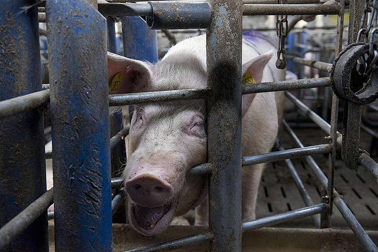 Świnia w przemysłowej hodowli