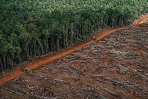 Wycinka lasów deszczowych Papui pod plantację palmy olejowej