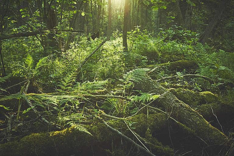Bialowieza Forest in Early Summer. © Greenpeace