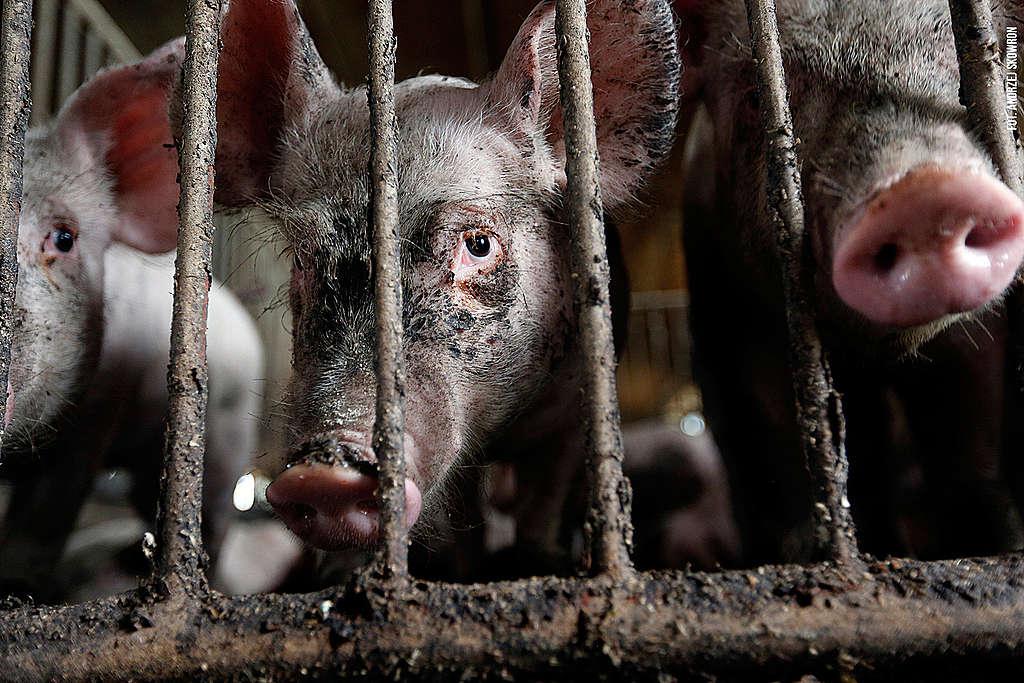 Świnie w przemysłowej fermie