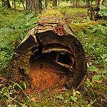 Martwe drzewo w Puszczy Białowieskiej