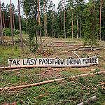 Szef Lasów Państwowych zwolniony. Greenpeace: Trzeba oczyścić tę stajnię Augiasza