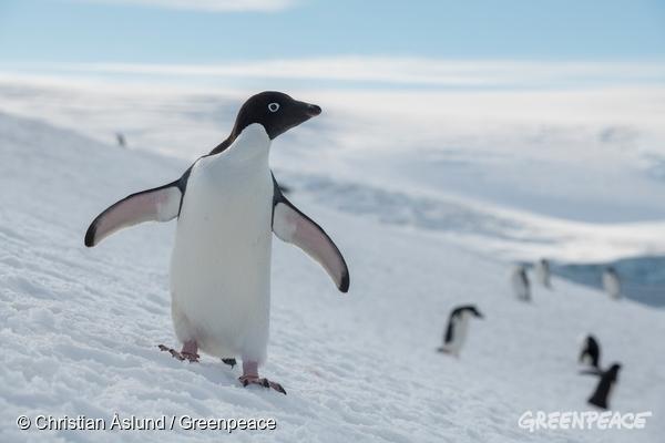 Pingvini na Antarktiki (c) Greenpeace.