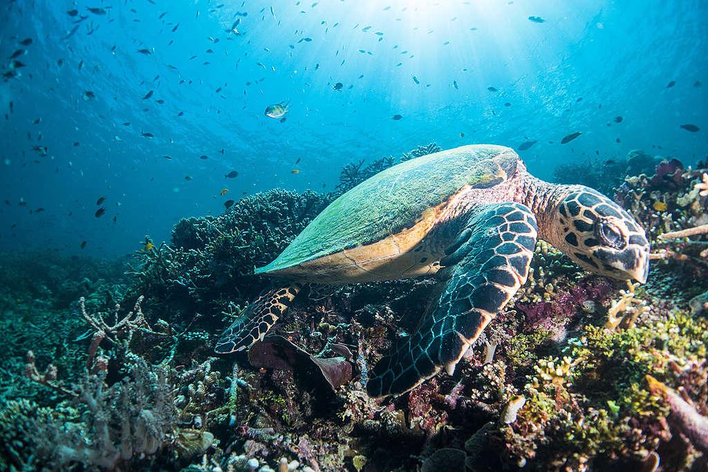 Green Turtle at Raja Ampat in West Papua. © Awaludinnoer / Greenpeace