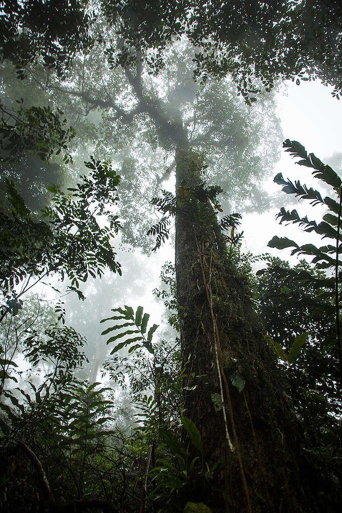 Huge Trees in Rainforest in Indonesia. © Nathalie Bertrams / Greenpeace