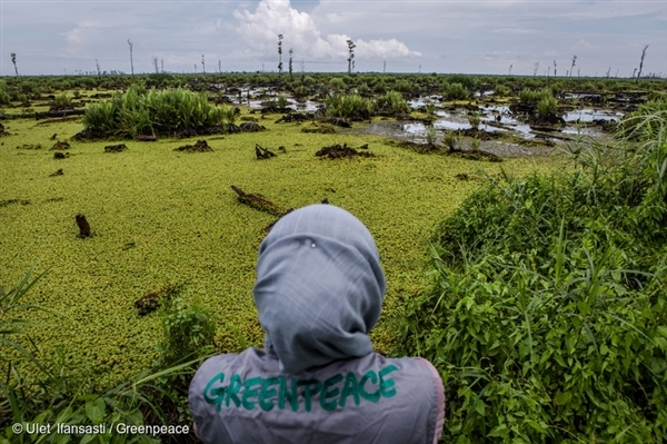 A Greenpeace investigator documents the devastation of a company-identified 'No Go' area of peatland in the PT Bumi Sawit Sejahtera (IOI) oil palm concession in Ketapang, West Kalimantan. This area of the concession suffered extensive fires in 2015.