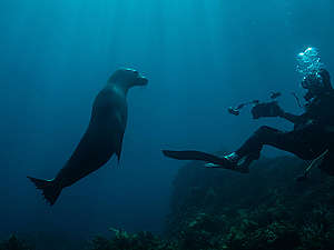 Sea Lion in the Great Australian Bight. © Michaela Skovranova / Greenpeace