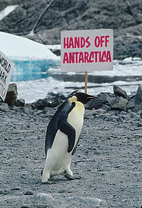 Emperor Penguin at Dumont D'Urville. © Greenpeace / Steve Morgan
