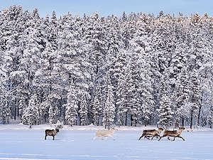 Reindeer in Finland. © Jani Sipilä / Greenpeace