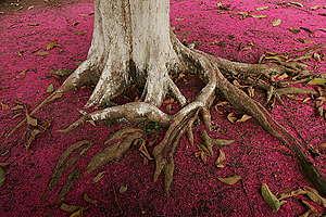 Jambo Tree in the Amazon. © Greenpeace / Daniel Beltrá