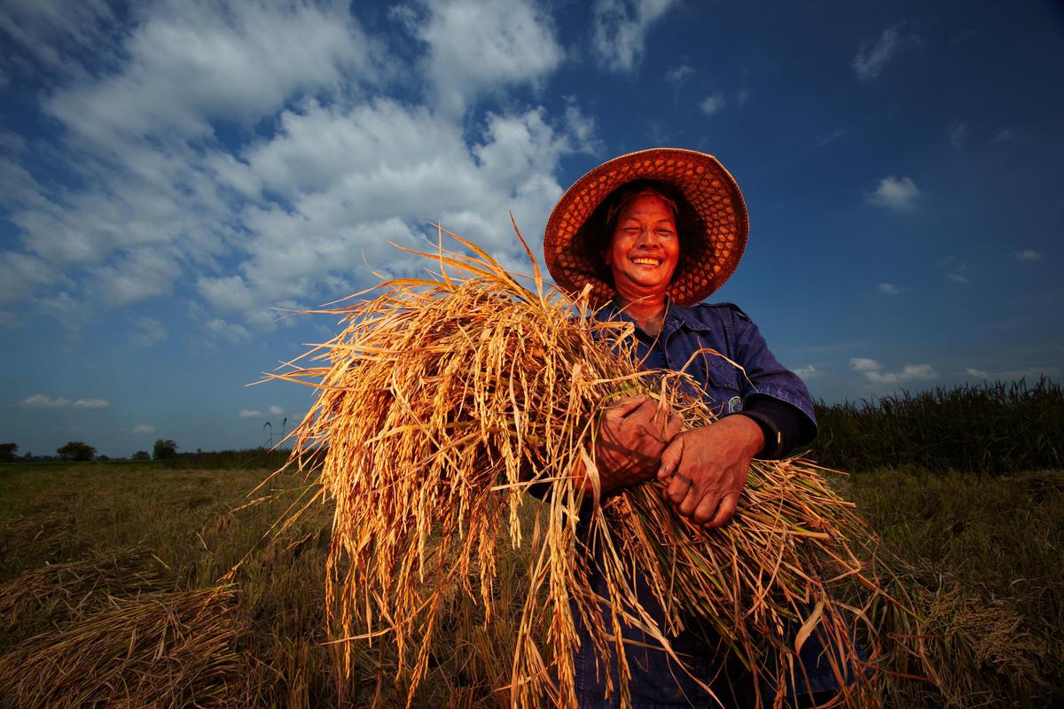 Organic Rice Art at Ratchaburi in Thailand. © Greenpeace / Athit Perawongmetha