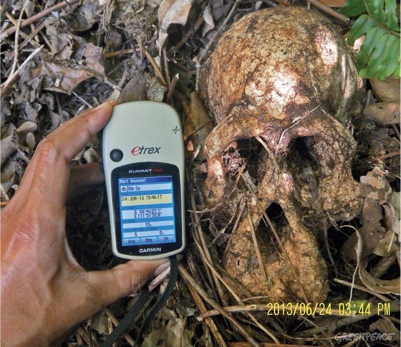 Orangutangkranium