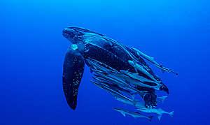 Havslädersköldpadda