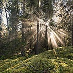 Old-Growth Forests Threatened by the Swedish State