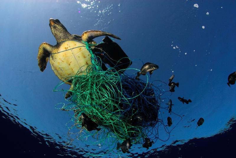 Sköldpadda i en fälla