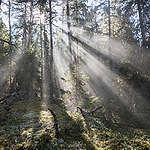 Den svenska skogen
