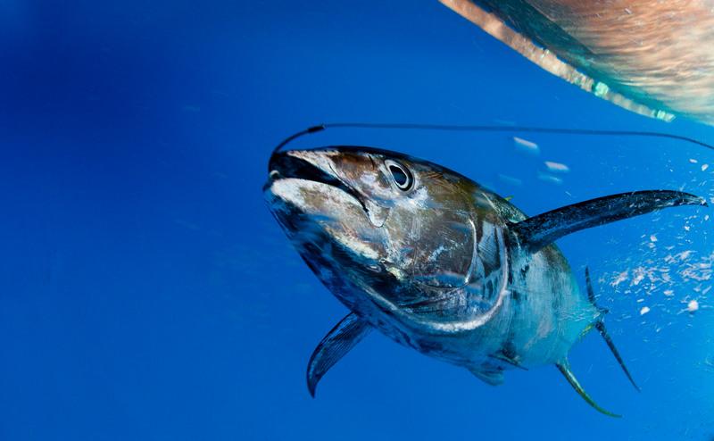 Den gulfenade tonfisken i den Indiska oceanen riskerar att utrotas.
