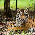 Visste du detta om tigrar? 10 fascinerande fakta