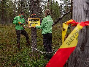 Aktivister från Greenpeace är nu på plats i Muonio sameby för att protestera mot Sveaskogs planerade avverkingar av lavskogar som är viktiga renbetesområden.