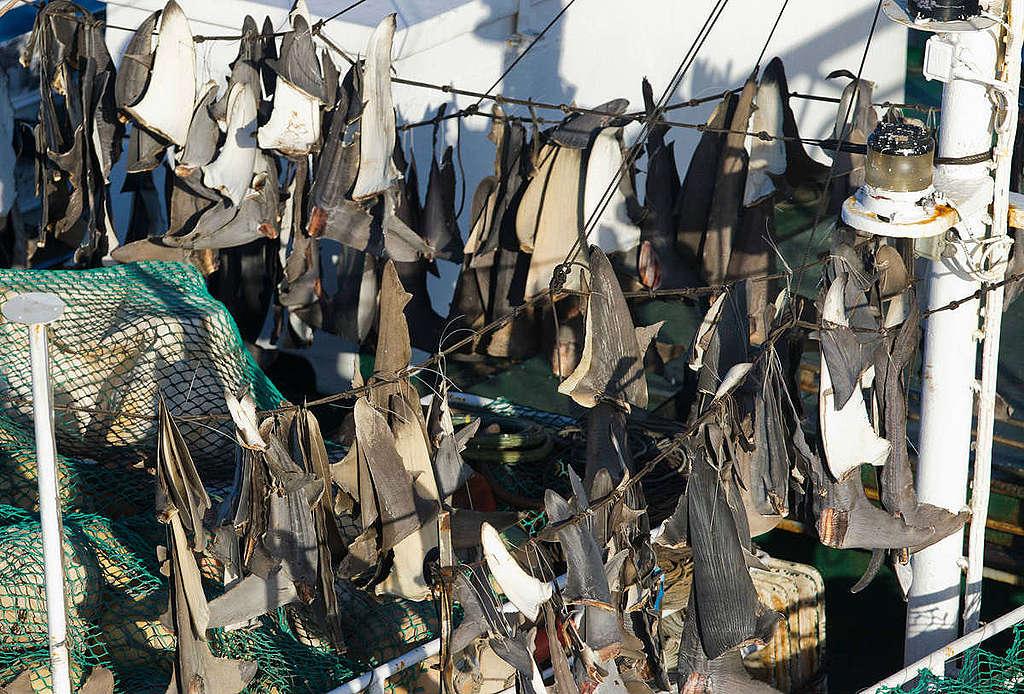 日籍延繩釣漁船上的魚翅 © Paul Hilton / Greenpeace