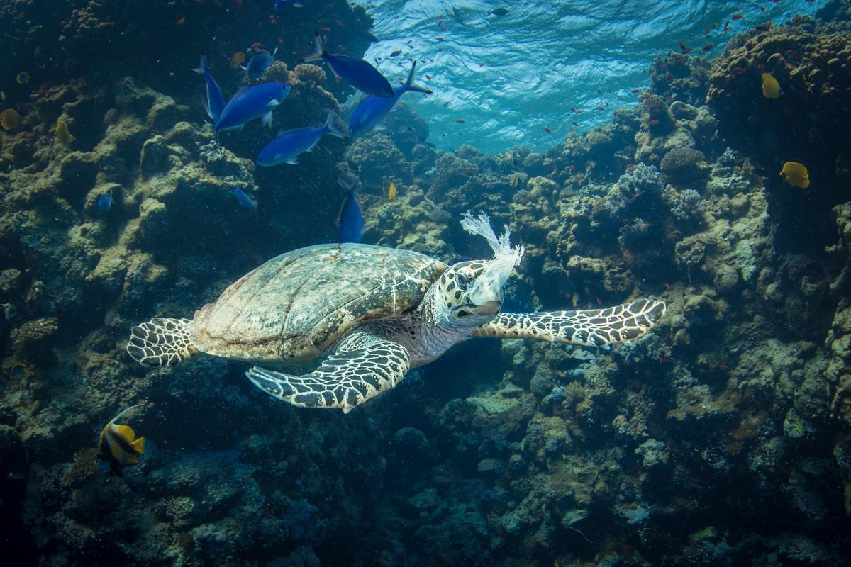 海龜難以辨別水母與塑膠袋,時常誤食塑膠