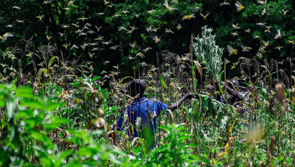 2020年2月7日,肯亞遭遇70年來最嚴重的蝗災。