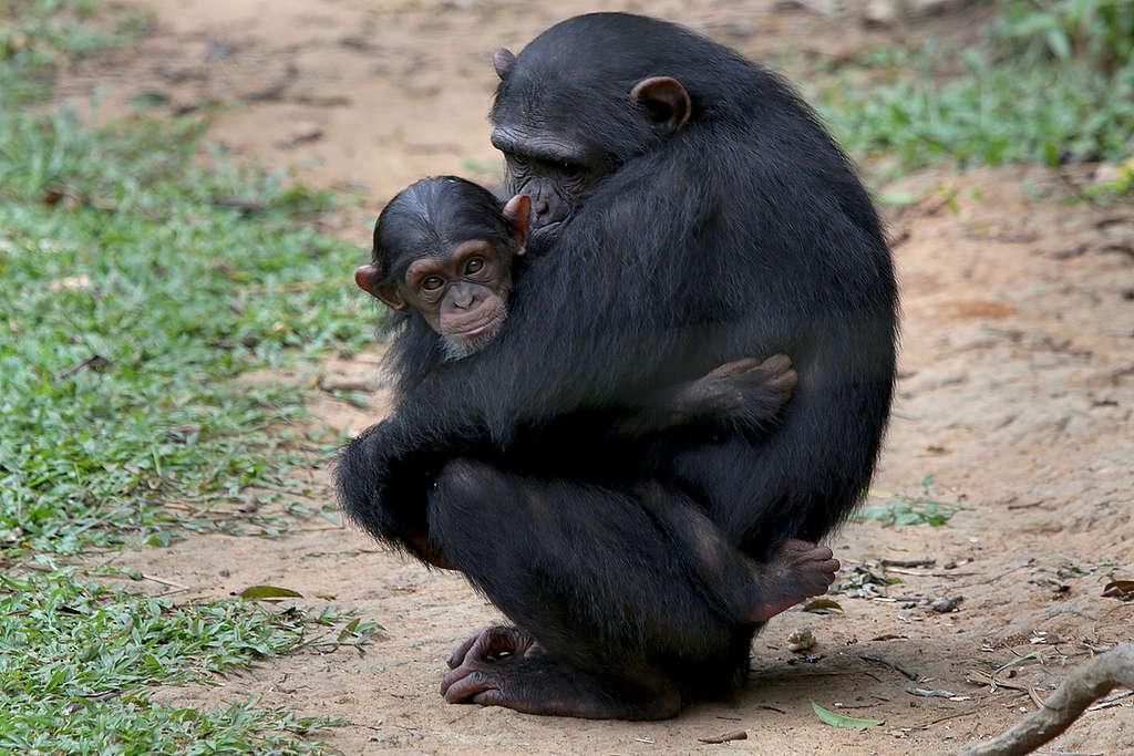 非洲森林遭受人類入侵,改為工業式農業用途,黑猩猩生態因而備受威脅。