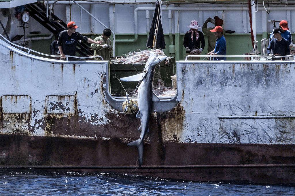 在大西洋中部,延繩釣漁船捕撈鮪魚,一條鯊魚同時被拖到船上。