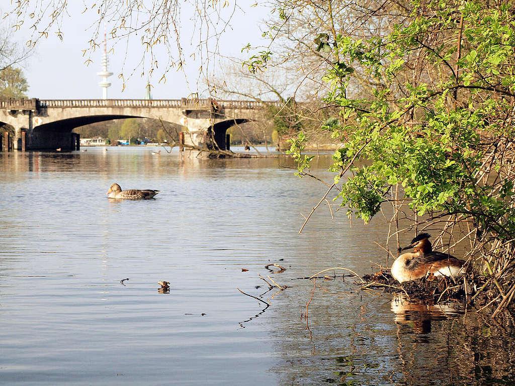 在德國漢堡的水道上,因沒有船隻經過而能夠平靜生活的鳥兒。