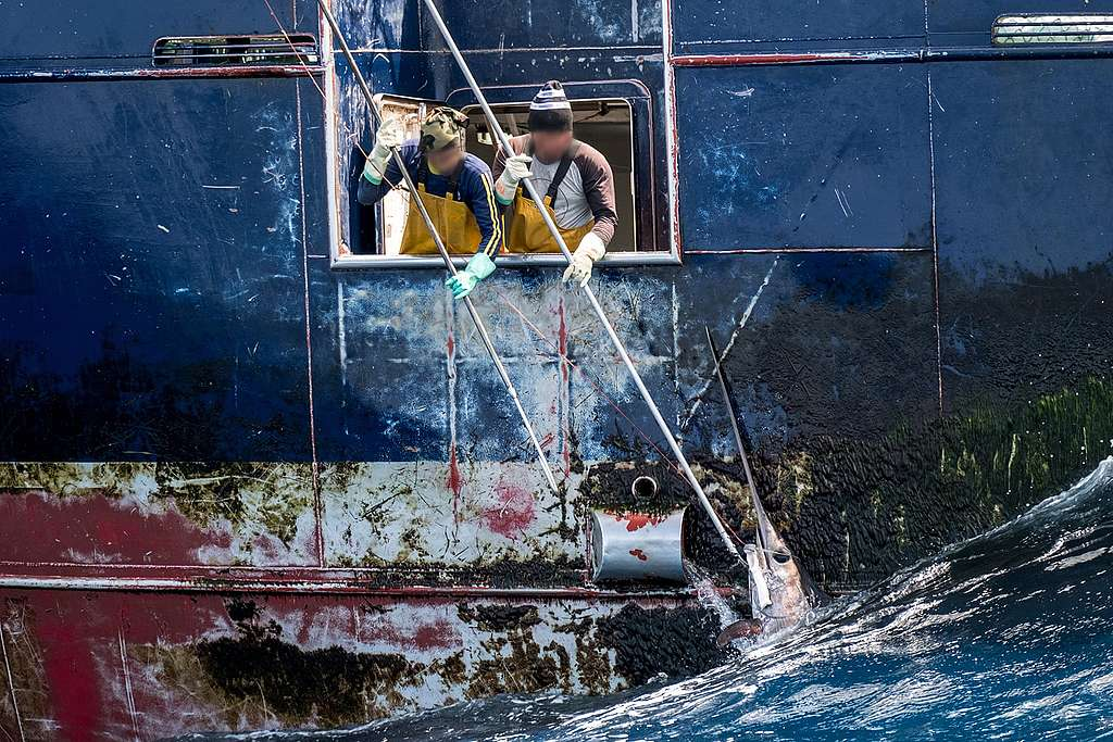 船上漁工使用長桿刺入身形較大的魚,並將牠拖上漁船。
