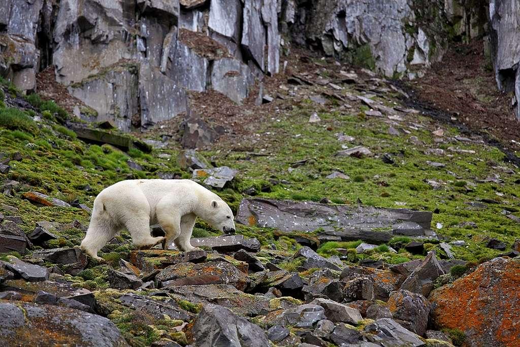沒有了海冰,新島嶼會否成為北極熊的新居?