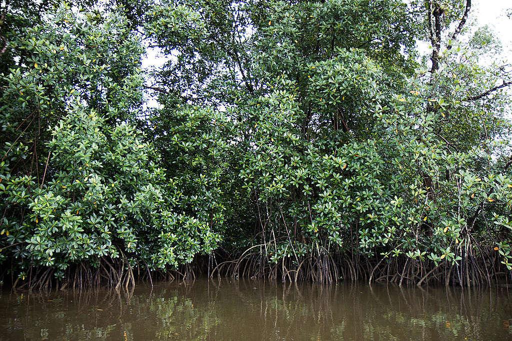法屬圭亞那的紅樹林,有助於沉積二氧化碳於土壤,是儲碳的好幫手。